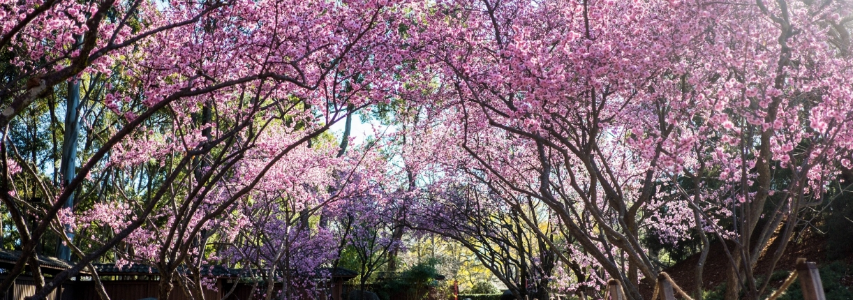 VIP Experience at the Sydney Cherry Blossom Festival