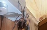 """Tasmania: Cặp vợ chồng """"mất vía"""" khi thấy nhện khổng lồ xơi tái chồn pygmy possum"""