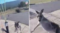 Chỉ có ở Úc: Vừa tiếp đất, du khách lượn dù bị kangaroo đấm thẳng vào mặt