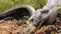 Nổi da gà khoảnh khắc trăn khổng lồ Úc nuốt chửng cá sấu 'nguyên con'