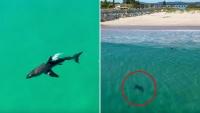 NSW: Thất kinh giây phút cá mập trắng khổng lồ 'rình rập' trẻ con