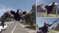 Sydney: Bị chim ác là tấn công, một người đàn ông ngã khỏi xe đạp tử vong