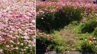 NSW: Vườn hoa cúc giấy mùa xuân bị du khách giẫm nát để selfie