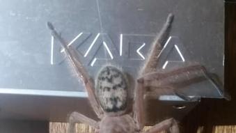 """Kinh ngạc cảnh chuột bị nhện độc """"xơi tái"""" tại Úc"""